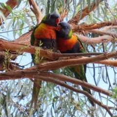 Trichoglossus moluccanus (Rainbow Lorikeet) at Macarthur, ACT - 9 Mar 2020 by RodDeb