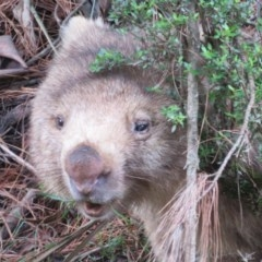 Vombatus ursinus (Wombat) at Tallaganda State Forest - 9 Mar 2020 by Christine