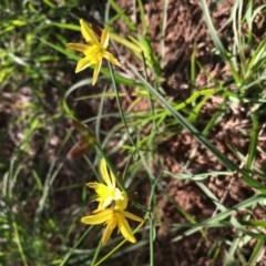 Tricoryne elatior (Yellow Rush Lily) at Lower Boro, NSW - 6 Mar 2020 by mcleana