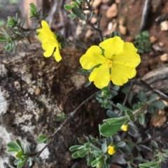 Hibbertia obtusifolia (Grey Guinea-flower) at Lower Boro, NSW - 6 Mar 2020 by mcleana