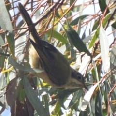 Melithreptus brevirostris (Brown-headed Honeyeater) at Lower Boro, NSW - 6 Mar 2020 by mcleana