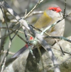 Neochmia temporalis (Red-browed Finch) at Lower Boro, NSW - 6 Mar 2020 by mcleana