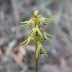 Corunastylis cornuta (Horned midge orchid) at Aranda Bushland - 9 Mar 2020 by CathB