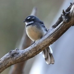 Rhipidura albiscapa (Grey Fantail) at Mount Ainslie - 9 Mar 2020 by jbromilow50
