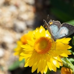 Jalmenus evagoras (Imperial Hairstreak) at ANBG - 10 Mar 2020 by Roger