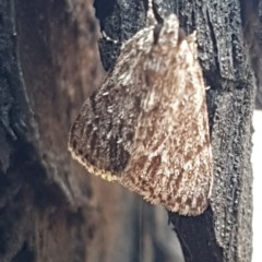 Spectrotrota fimbrialis (A Pyralid moth) at Umbagong District Park - 10 Mar 2020 by tpreston