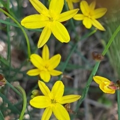 Tricoryne elatior (Yellow Rush Lily) at Umbagong District Park - 10 Mar 2020 by tpreston