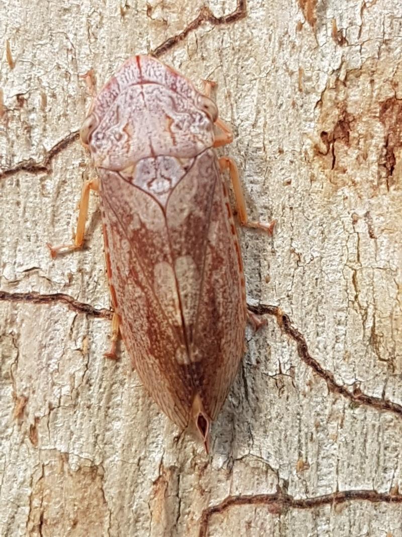 Stenocotis depressa at Umbagong District Park - 10 Mar 2020