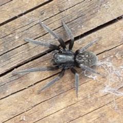 Badumna insignis (Black House Spider) at Umbagong District Park - 10 Mar 2020 by tpreston