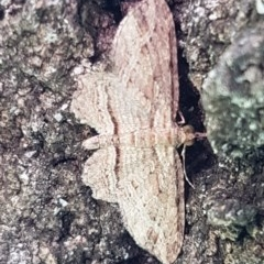 Chloroclystis filata (Filata Moth, Australian Pug Moth) at Latham, ACT - 10 Mar 2020 by tpreston
