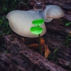Pseudohydnum gelatinosum (TBC) at Budderoo National Park - 7 Mar 2020 by AliciaKaylock