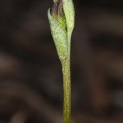 Speculantha rubescens (Blushing tiny greenhood) at Gungaderra Grasslands - 9 Mar 2020 by DerekC