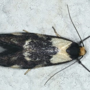 Palimmeces leucopelta at Ainslie, ACT - 6 Mar 2020