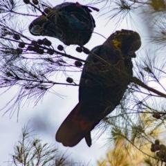 Calyptorhynchus lathami (Glossy Black-cockatoo) at Dignams Creek, NSW - 10 Mar 2020 by rivers_end