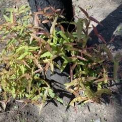 Eucalyptus quadrangulata (TBC) at FS Private Property - 9 Mar 2020 by Stewart