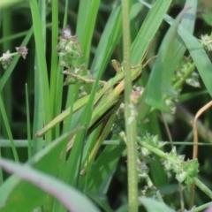 Caledia captiva at Jerrabomberra Wetlands - 9 Mar 2020