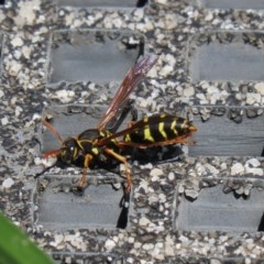 Polistes (Polistes) chinensis (Asian paper wasp) at Jerrabomberra Wetlands - 9 Mar 2020 by RodDeb