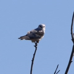 Elanus axillaris (Black-shouldered Kite) at Jerrabomberra Wetlands - 9 Mar 2020 by RodDeb