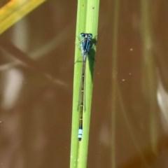 Ischnura heterosticta at Jerrabomberra Wetlands - 9 Mar 2020