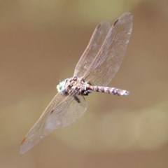 Adversaeschna brevistyla (Blue-spotted Hawker) at Jerrabomberra Wetlands - 9 Mar 2020 by RodDeb