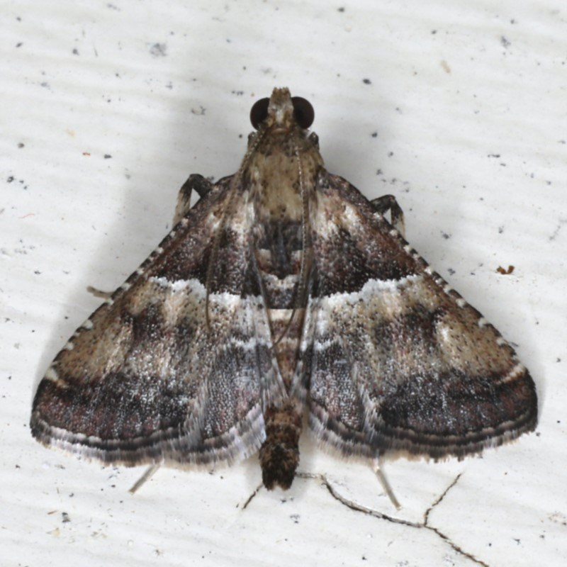 Endrotricha puncticostalis at Ainslie, ACT - 2 Mar 2020