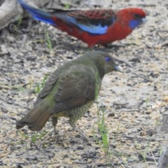 Ptilonorhynchus violaceus (Satin Bowerbird) at Wingecarribee Local Government Area - 10 Mar 2020 by GlossyGal