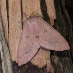 Arhodia lasiocamparia (Pink Arhodia) at Black Mountain - 14 Apr 2018 by GlennCocking