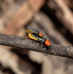Chauliognathus tricolor (Tricolor soldier beetle) at Umbagong District Park - 11 Mar 2020 by Roger