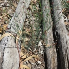 Tricoryne elatior (Yellow Rush Lily) at The Pinnacle - 9 Mar 2020 by sangio7