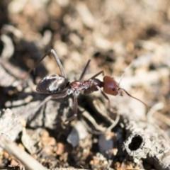 Iridomyrmex purpureus (Meat Ant) at The Pinnacle - 9 Mar 2020 by AlisonMilton