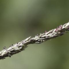 Sporobolus creber (Slender Rat's Tail Grass) at Michelago, NSW - 8 Mar 2020 by Illilanga