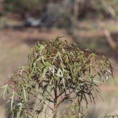 Brachychiton populneus subsp. populneus (Kurrajong) at Weetangera, ACT - 9 Mar 2020 by Alison Milton