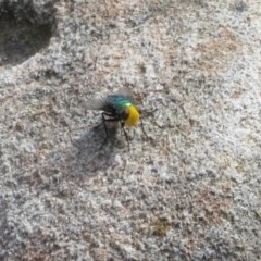 Amenia (imperialis group) (Snail Parasitic Blowfly) at Bomaderry Creek Regional Park - 27 Feb 2020 by Christine