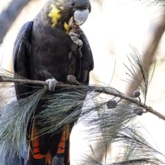Calyptorhynchus lathami (Glossy Black-Cockatoo) at Penrose - 11 Mar 2020 by Aussiegall
