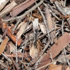 Myrmecia pyriformis at ANBG - 10 Mar 2020