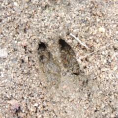 Unknown Deer species (Deer) at Bullen Range - 29 Dec 2019 by michaelb