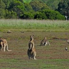 Macropus giganteus (Eastern Grey Kangaroo) at Panboola - 10 Mar 2020 by MaxCampbell