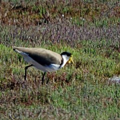 Vanellus miles (Masked Lapwing) at Panboola - 10 Mar 2020 by MaxCampbell
