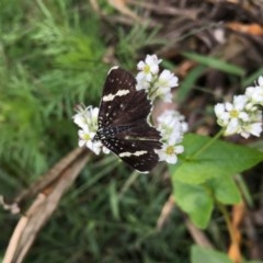 Idalima affinis (A day flying moth) at Lower Boro, NSW - 6 Mar 2020 by mcleana