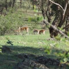 Dama dama (Fallow Deer) at Gigerline Nature Reserve - 11 Mar 2020 by SandraH