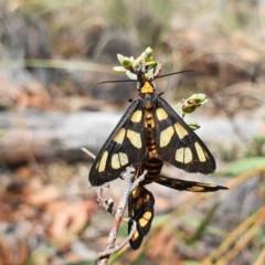 Amata (genus) (Handmaiden) at Black Mountain - 12 Mar 2020 by shoko
