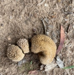 zz puffball at Hughes Grassy Woodland - 11 Mar 2020 by LisaH