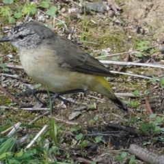 Acanthiza chrysorrhoa (Yellow-rumped Thornbill) at Red Hill Nature Reserve - 12 Mar 2020 by JackyF