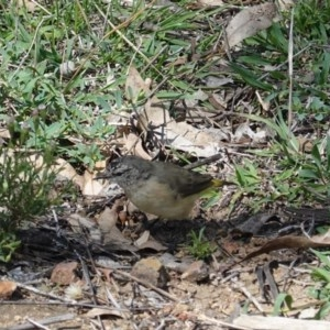 Acanthiza chrysorrhoa at Red Hill Nature Reserve - 12 Mar 2020