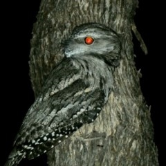 Podargus strigoides (Tawny Frogmouth) at Federal Golf Course - 12 Mar 2020 by Ct1000