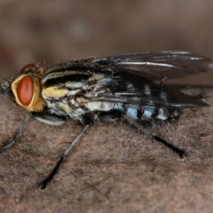 Sarcophagidae sp. (family) (Unidentified flesh fly) at Bruce, ACT - 8 Mar 2013 by Bron
