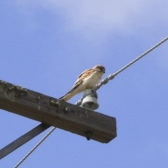Falco cenchroides (Nankeen Kestrel) at Illilanga & Baroona - 8 Oct 2009 by Illilanga