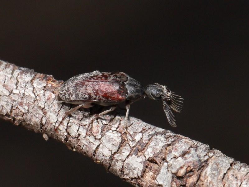 Ptilophorus sp. (genus) at ANBG - 10 Mar 2020