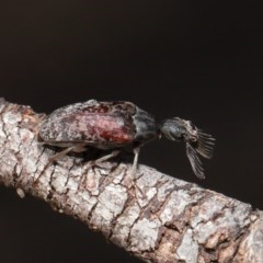 Ptilophorus sp. (genus) (Wedge-shaped beetle) at ANBG - 10 Mar 2020 by TimL
