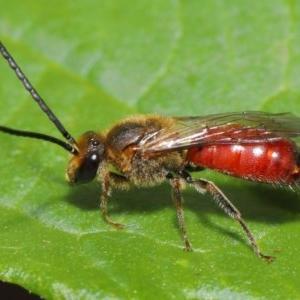 Lasioglossum (Parasphecodes) sp. (genus & subgenus) at ANBG - 12 Mar 2020